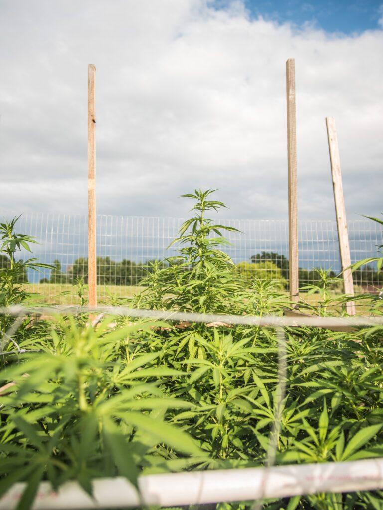 hemp oil plant picture